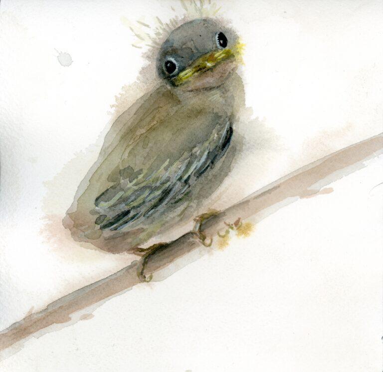 Fledgling Yellow Warbler